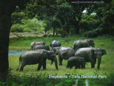 Elephants in Yala National Park - Sri Lanka